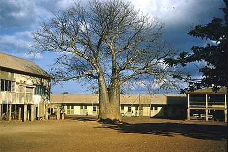 Baobab tree at school, Darwin (the old Darwin Primary School in Cavenagh  Street, on the site of the Post Office car park), 1957